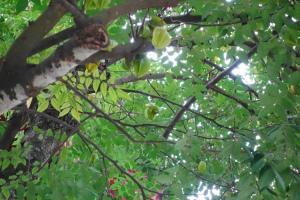 Carambola/Star Fruit Tree (杨桃树)