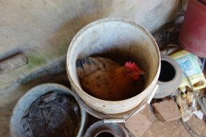 鸡即将下蛋